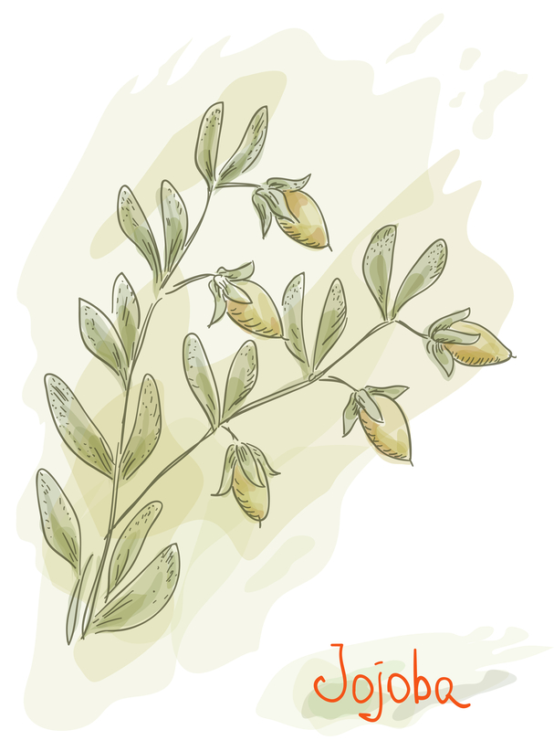 SKETCH OF JOJOBA PLANT